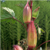 Hill_Country_Red_Okra