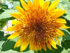 feathery looking sunflower