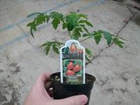 jetstar tomato 4in