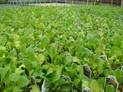 lettuce7