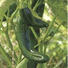pepper Pasilla