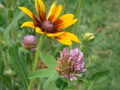 perennials to attract beneficial insects-1