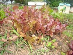 Red salad bowl lettuce-1