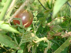 ripe blackcherry tomato