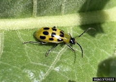 spotted_cucumber_beetle