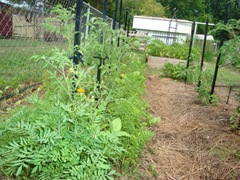 Staked tomatoes