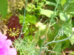 swallowtail caterpillar on dill weed