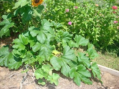 volunteer pumpkin plant